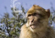 baboon with cigarette